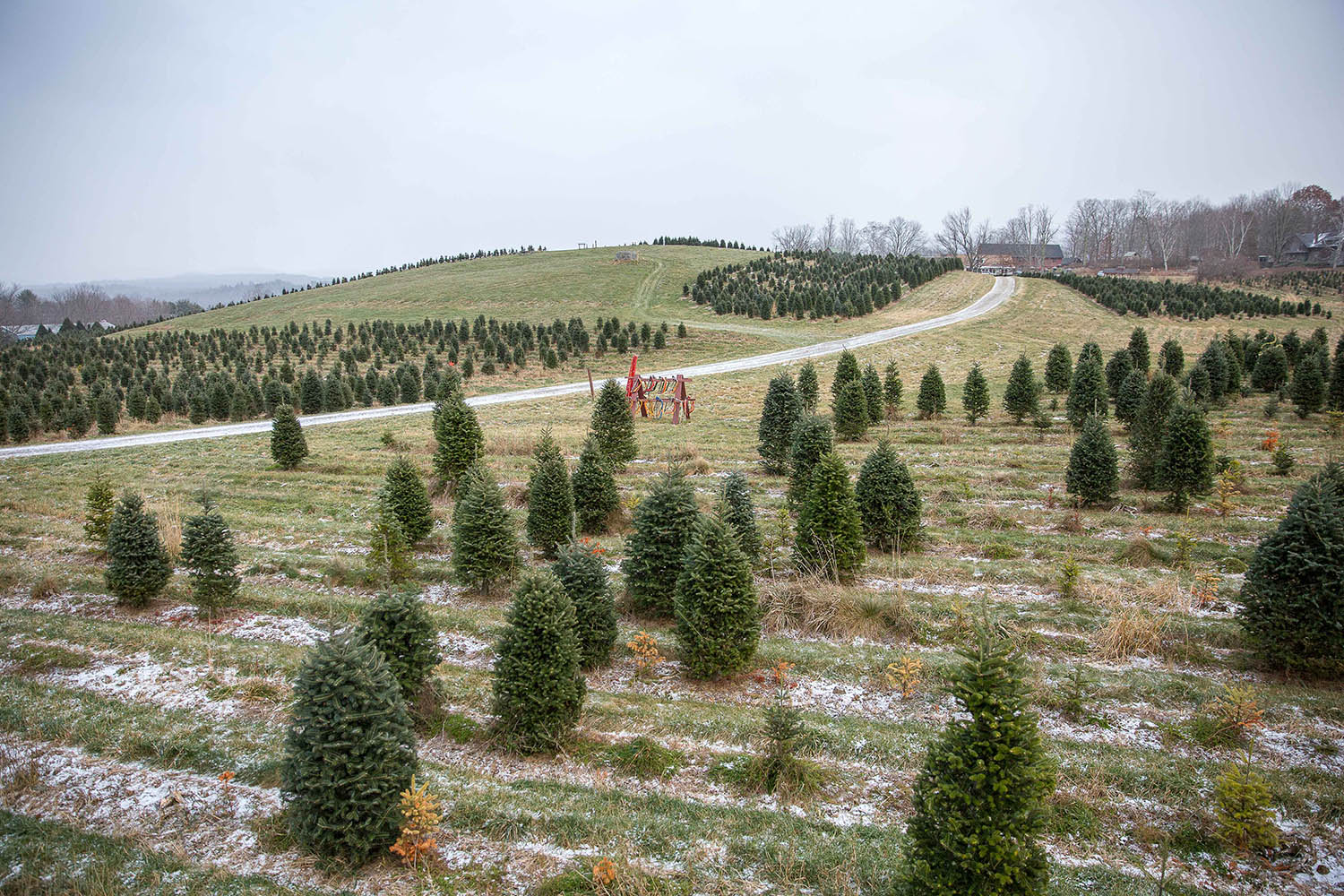 A christmas tree farm with trees in the light snow