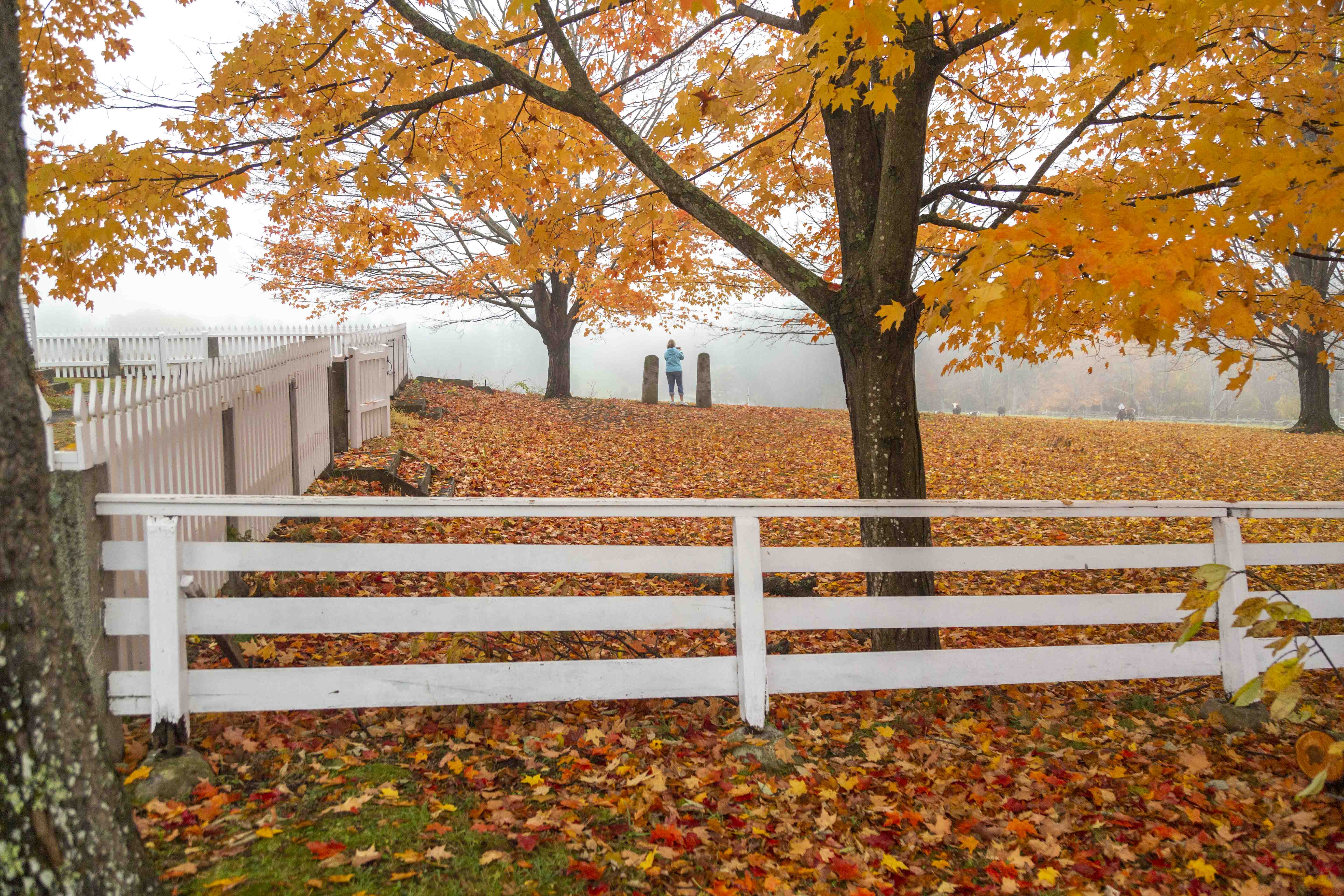 White picket fence with a tree covered in fall foliage behind it