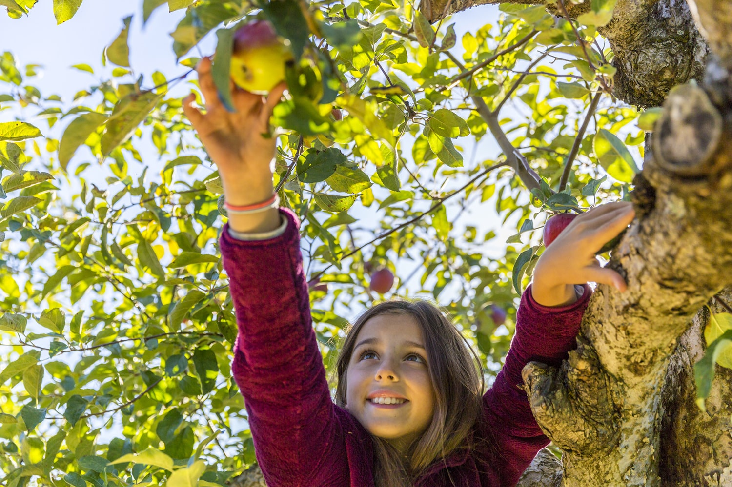 young girl picking an apple off of an apple tree